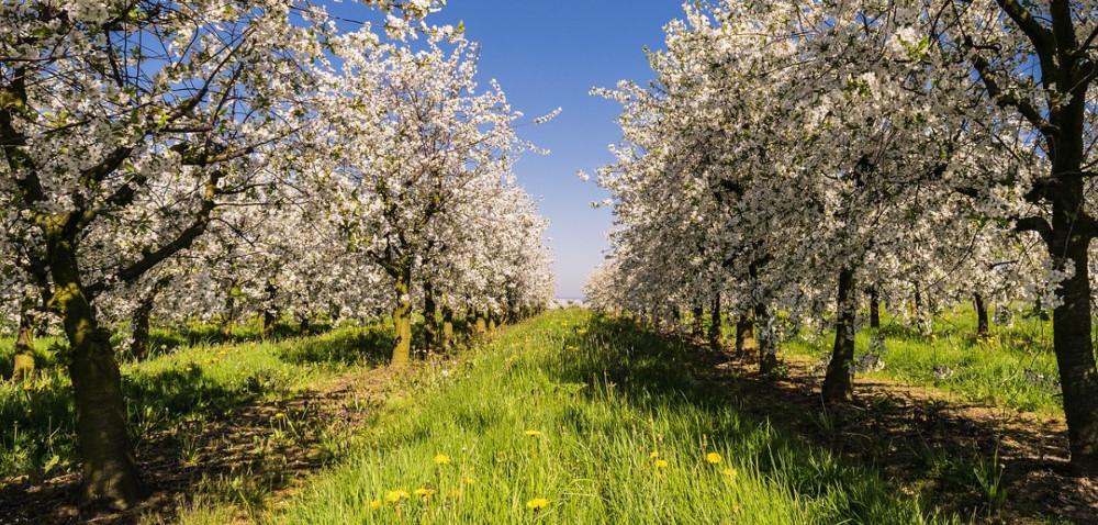 Zgorzel kory wuprawach jabłoni