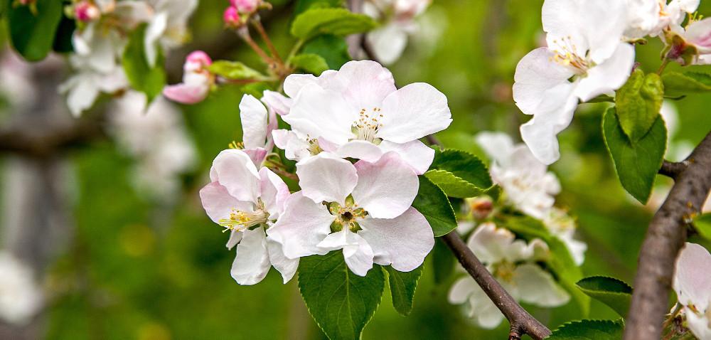 Szkodniki wsadach: owocówka jabłkóweczka