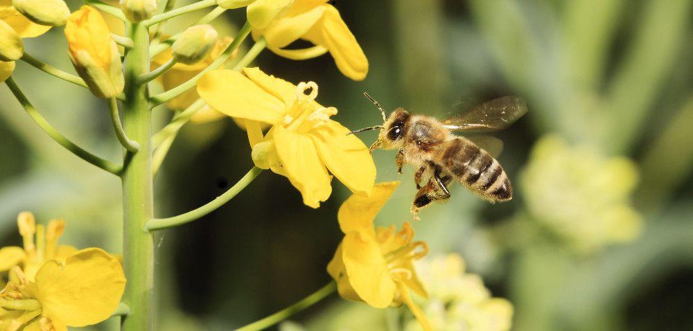 Pszczoły giną zpowodu źle prowadzonych oprysków