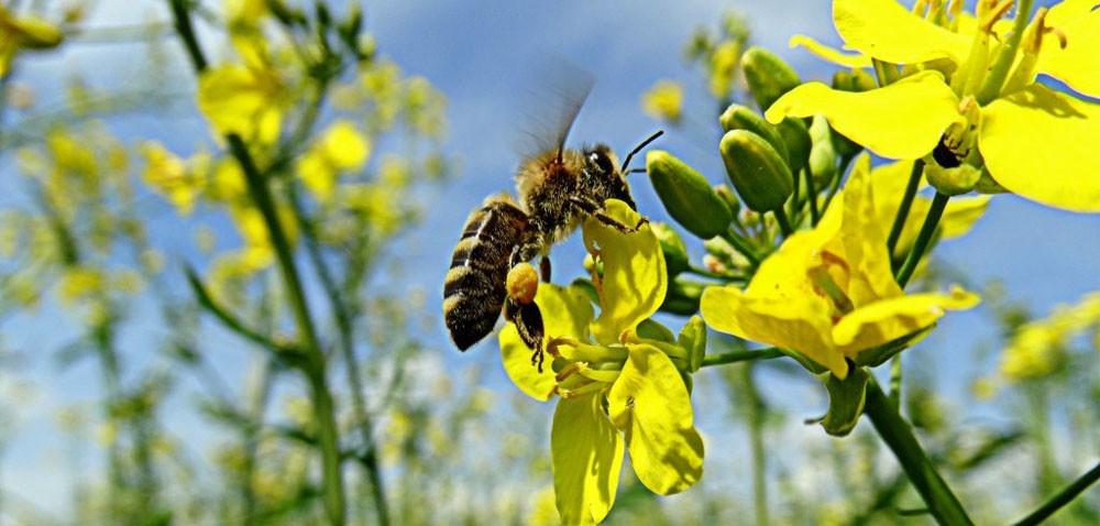 Zatrucie pszczół opryskiem – co robić?