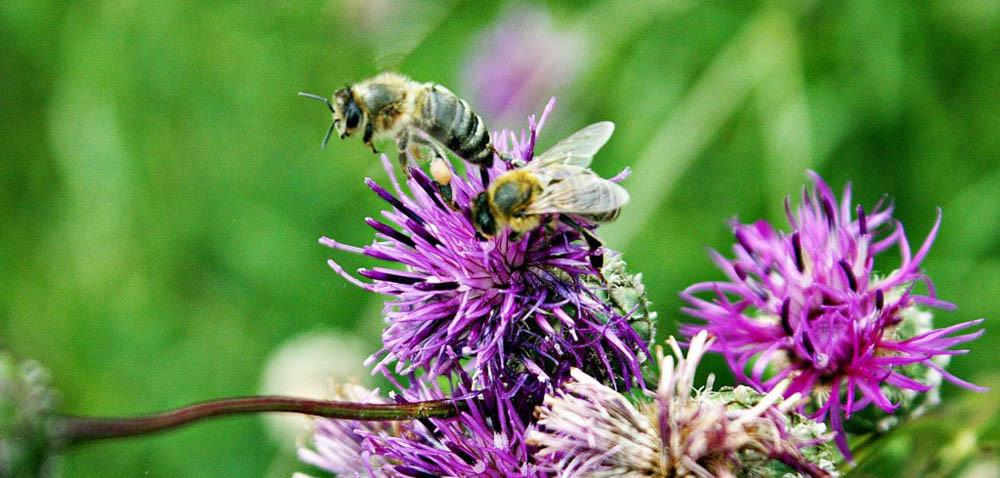 Pszczoły, trzmiele imurarki – jak je odróżnić?