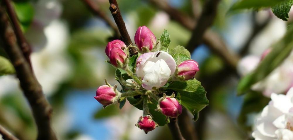 Kwitną sady, nadchodzą szkodniki