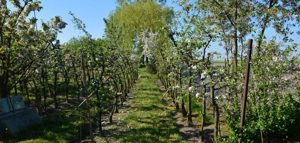 Sady jabłoniowe: jakie mają przyszłość?