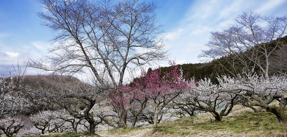 Owocówka śliwkóweczka atakuje wielkopolskie sady