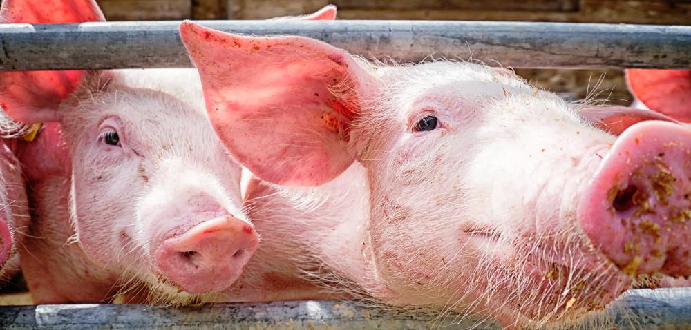 Trzoda chlewna: jak pomóc zwierzętom przetrwać upały?
