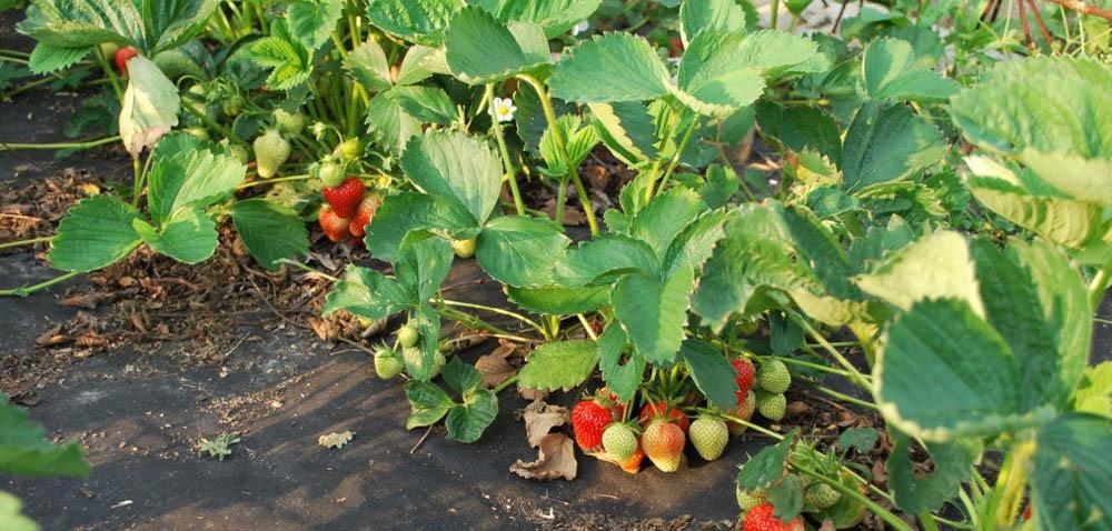 Początek sezonu na truskawki – uwaga na szarą pleśń
