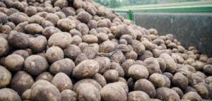 ziemniaki ceny
