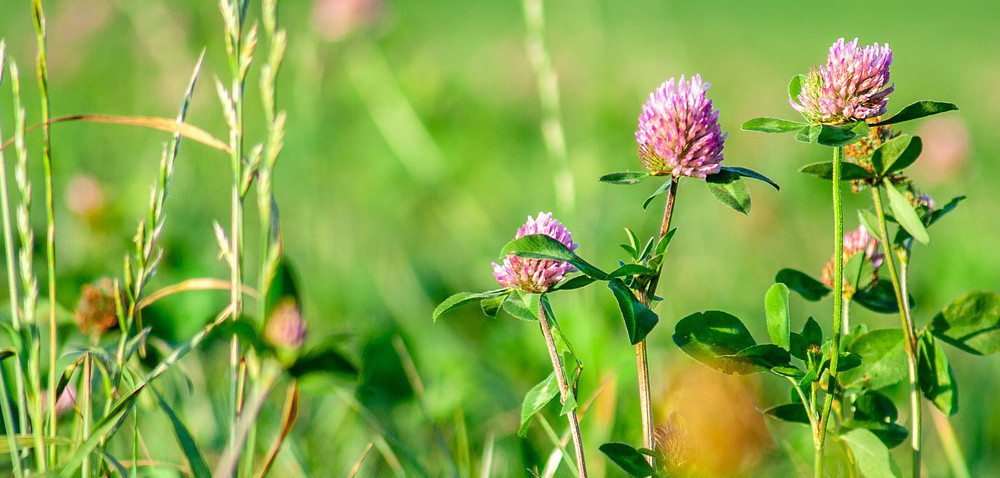 Rośliny motylkowe na pastwisku