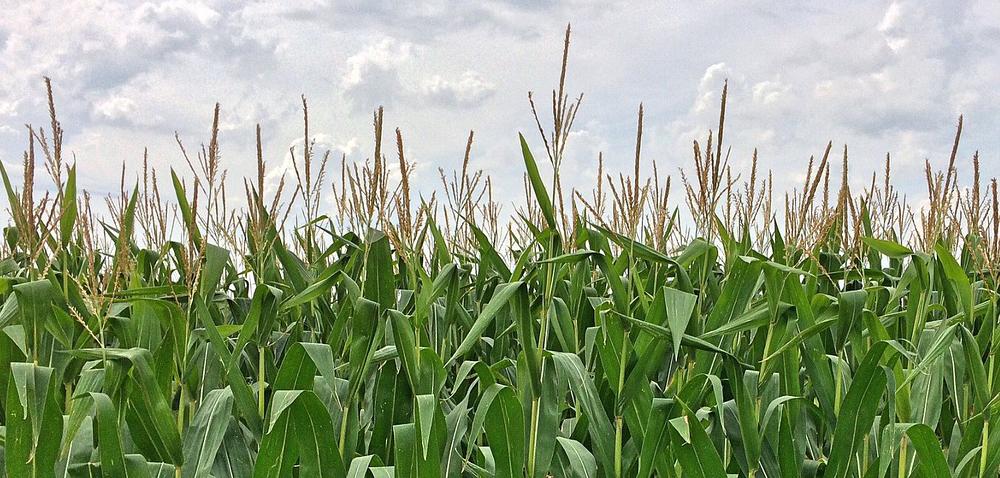 Odchwaszczanie kukurydzy aherbicydy dolistne