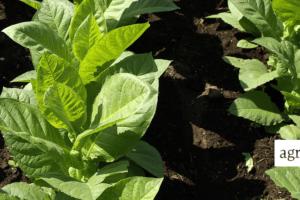 Uprawa tytoniu wPolsce coraz mniej opłacalna?