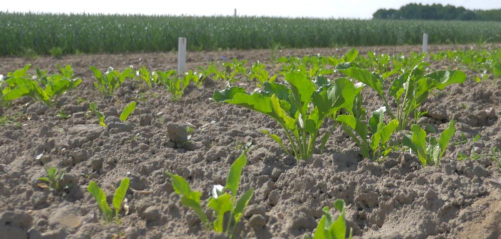 Jak ratować uprawy buraka cukrowego?