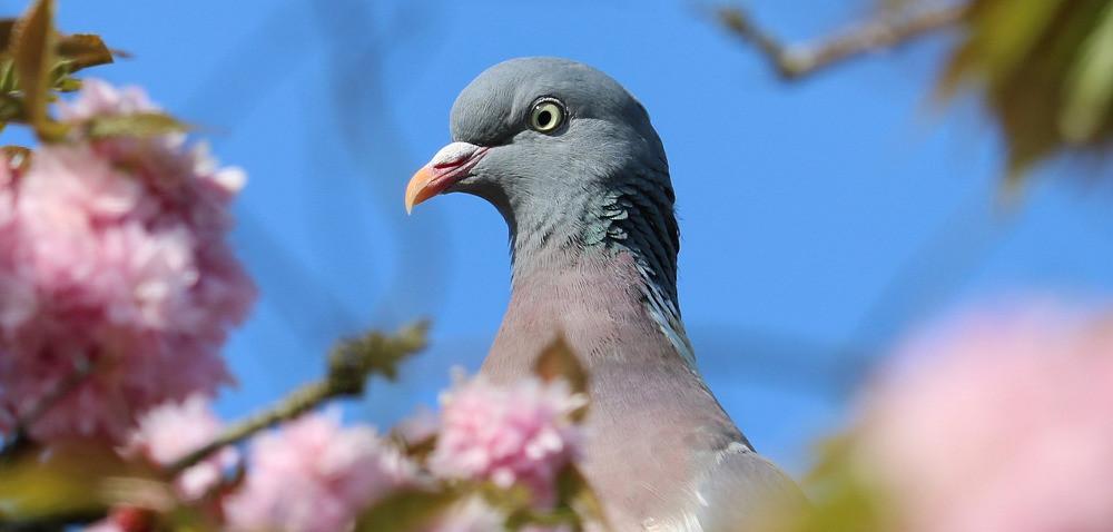 Co poradzić na gołębie wpolu?