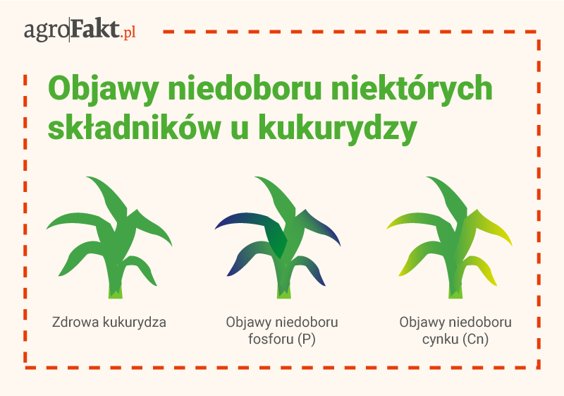 akademia nawożenia kukurydza