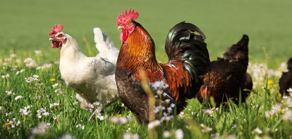 Żywienie kogutów ijego wpływ na płodność