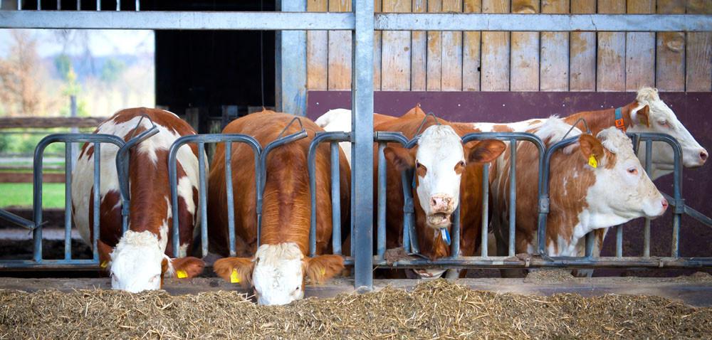 Krowy na wypasie? Coraz rzadziej