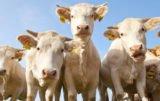 bydła