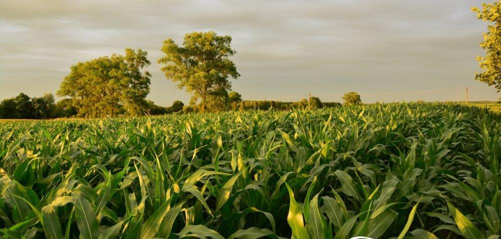 Kukurydza: uwaga na mszyce iwciornastki