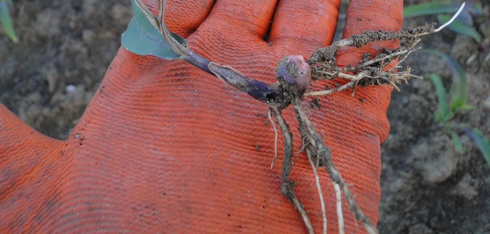 Helotropha leucostigma: jak wygląda uszkodzona kukurydza?