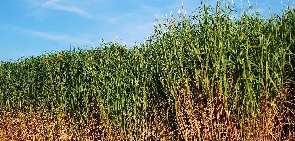 Rośliny energetyczne: miskant – drogi, ale przydatny