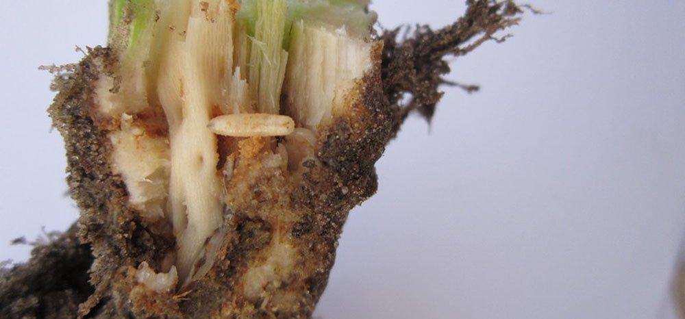 Śmietka kapuściana – co zzaprawami nasion?