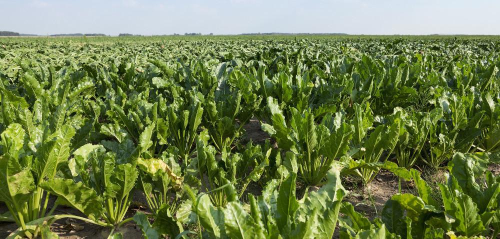IUNG stwierdza suszę. Czy plony są zagrożone?