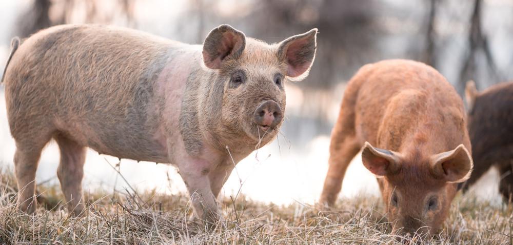 Intensywne żywienie świń: kiedy iczy się opłaca?