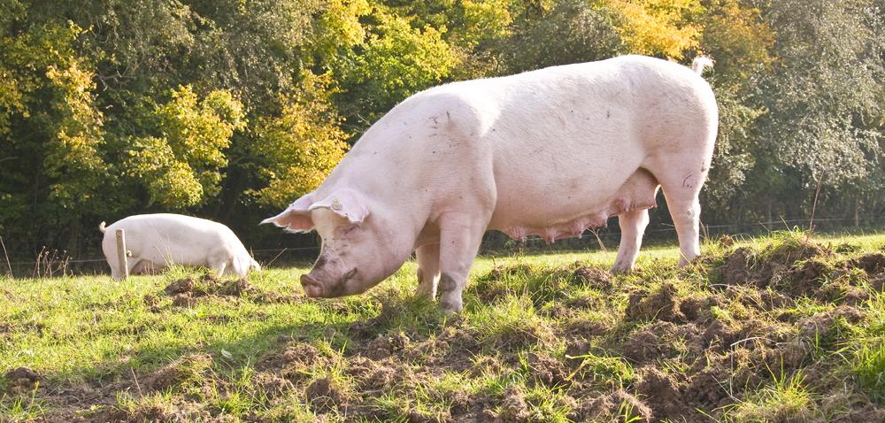 Dopłaty iPROW: czy program bioasekuracji pomoże?