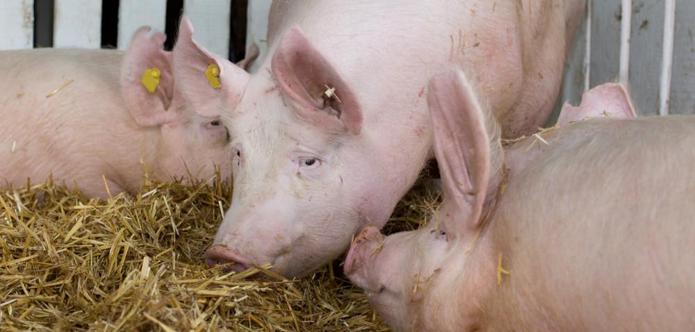 Produkcja wieprzowiny – najnowsze informacje okondycji branży