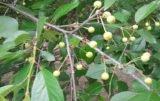 Jak zawiązywały się owoce