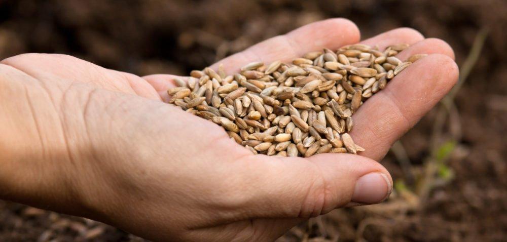 Ceny unijne zbóż irzepaku, podobnie jak polskie – spadają