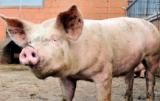 mieszanie zbóż w paszach dla świń