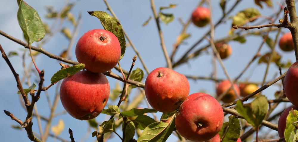 Jak uratować owoce po gradobiciu?