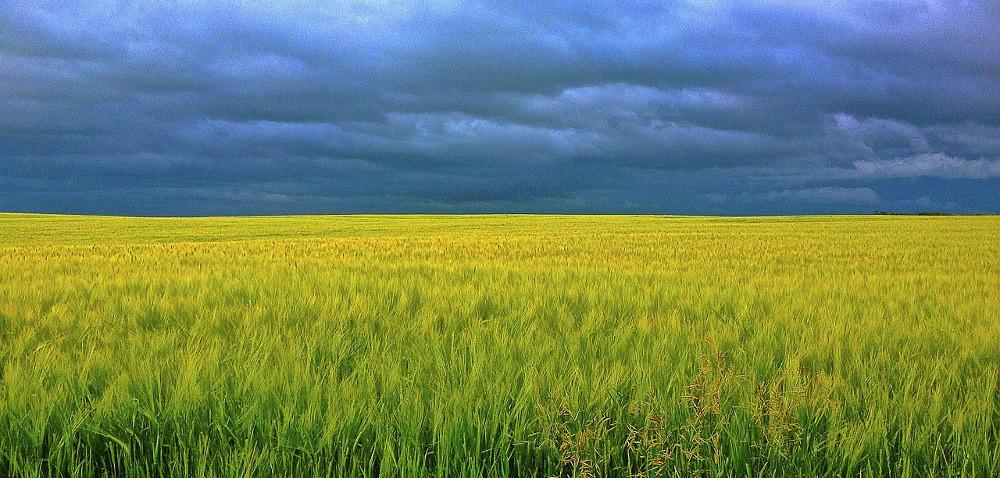 Zmienna pogoda = nierównomierna dojrzałość zbóż