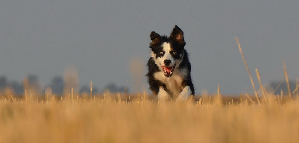 Czipowanie wiejskich psów będzie obowiązkowe?