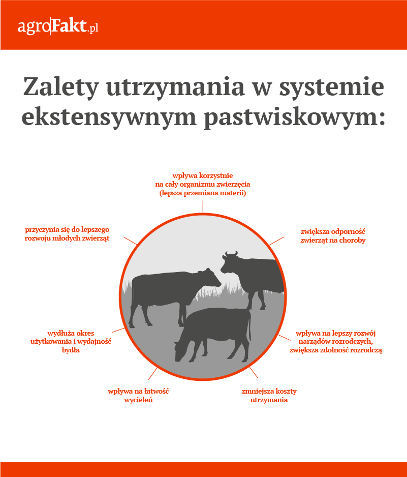chów ekstensywny bydła