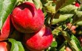 jabłka eksport Chiny