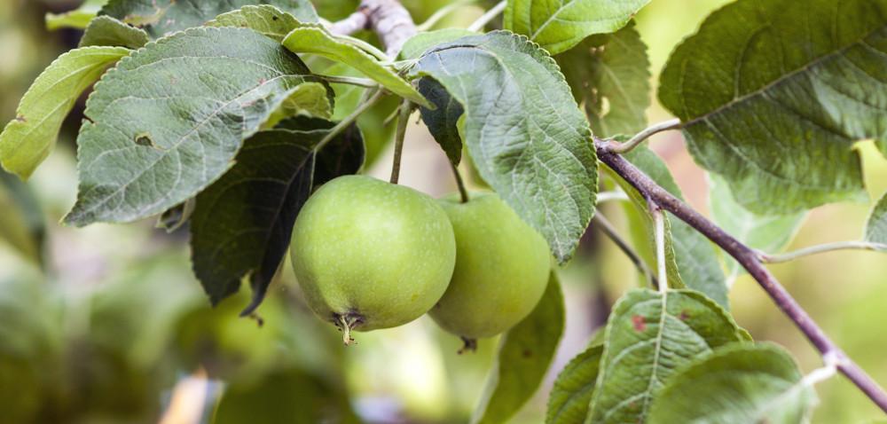 Zbiory owoców dobrze się zapowiadają
