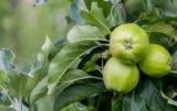 Akademia Nawożenia Intermag / jabłka