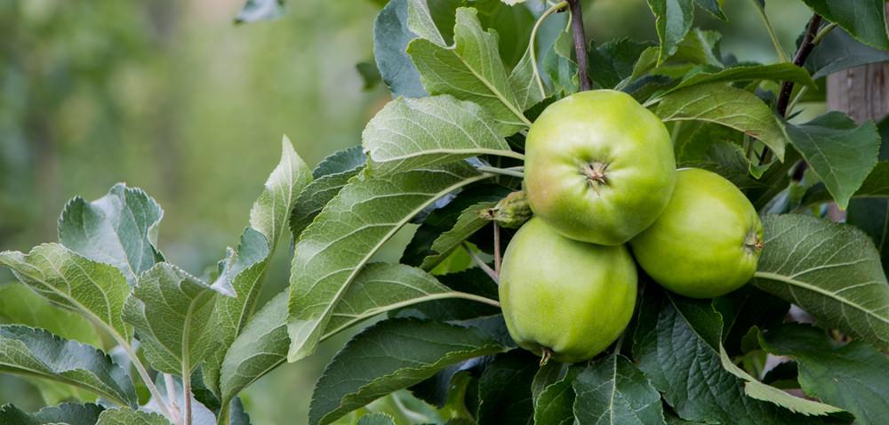Akademia Nawożenia Intermag: cz. 5, jabłka