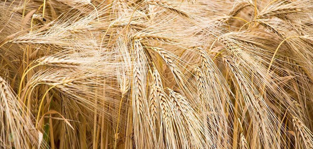 Jakie ceny zbóż? Żniwa 2019