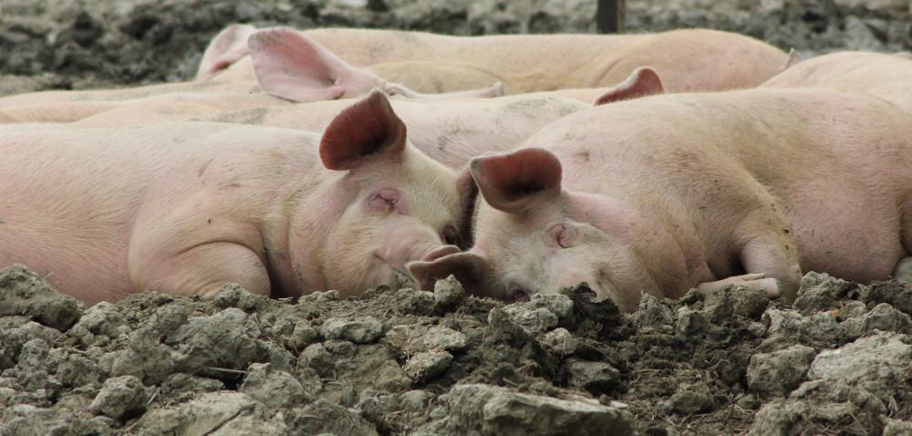 Kastracja świń: kiedy ijak ją przeprowadzać?
