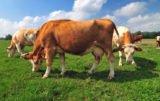 W Brukseli o pomocy dla producentów mleka: będą dopłaty do redukcji?