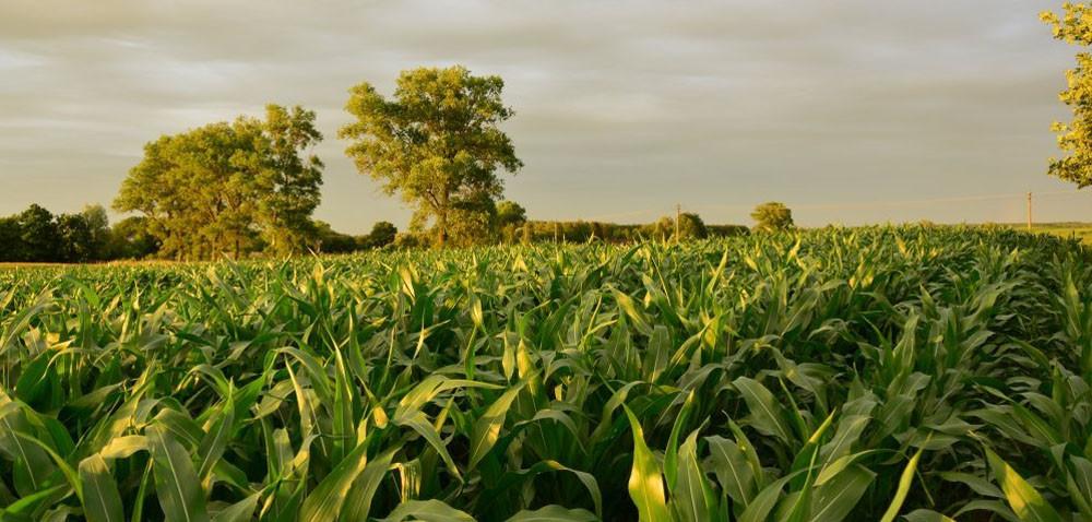 Stonka kukurydziana: są już zapłodnione samice