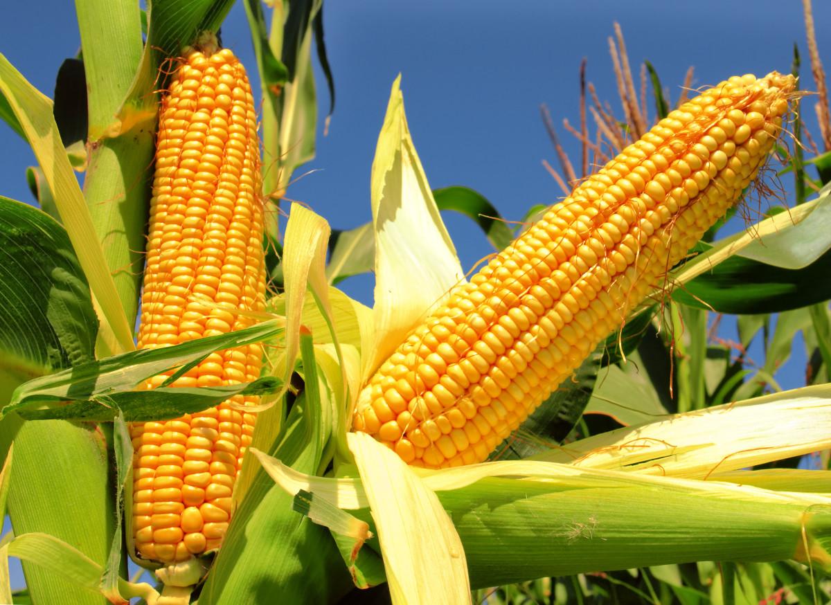 jak zakisić kukurydzę