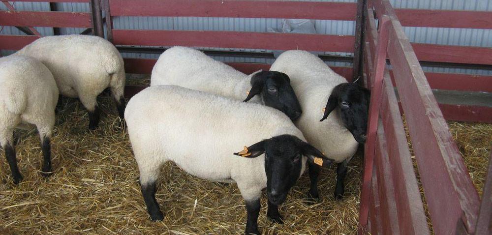Mimo dopłat, owiec jest niewiele