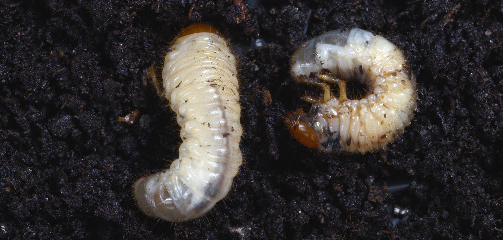 Szkodniki glebowe: czy da się je pokonać?