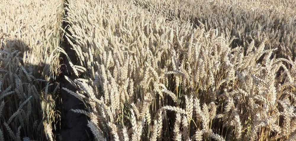 Opolskie: pszenica już gotowa do żniw