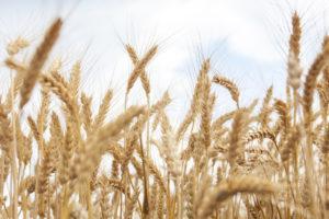 Ceny zbóż wskupie spadają