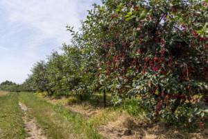 produkcja owoców