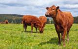 ekstensywny chów bydła